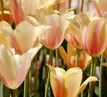 Tulips by Jeannette Sheehy