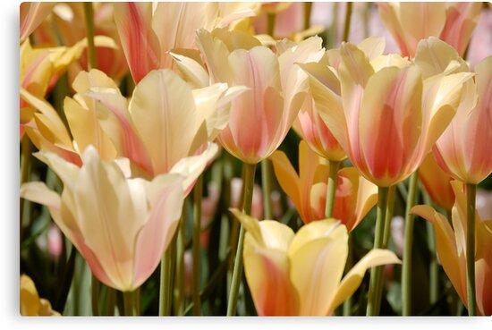 Tulips by Jeannette Sheehy