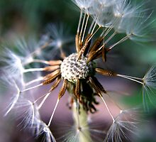 dandelion by Aimerz