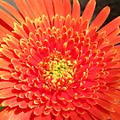 Orange Gerbera by Daniel Rayfield