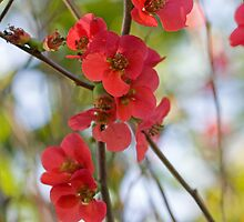 Red cherry blossoms 2 by lovethrugrace