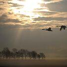 Morning swans by Javimage