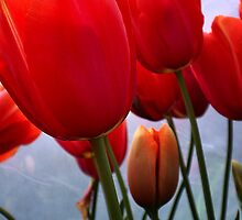 Silvan tulips by Atiger97