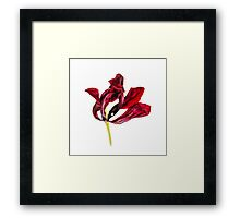 Withered Tulip Framed Print