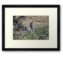Red necked Wallaby. Framed Print
