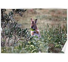 Red necked Wallaby. Poster