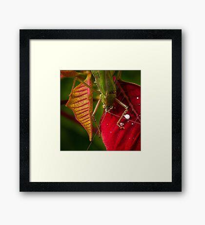 Territorial grasshopper Framed Print