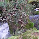 creek at Enchanted Forest,  Cradle Mt, Tasmania by gaylene