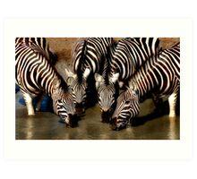 Thirsty Zebra Art Print
