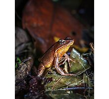 Brilliant Forest Frog at Attention (Rana warszewitschii) Photographic Print