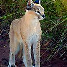 Lynx  by Leon Rossouw