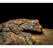 Mexican Treefrog on Leaf (Smilisca baudinii) Photographic Print