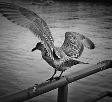 Song to a Seagull by Timothy Flohe