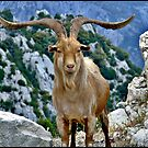 A Goat of the Luberon Mountains. by mrcoradour