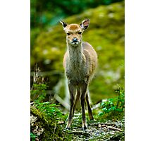 young sika deer fawn (lat. Cervus nippon) Photographic Print
