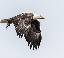 American Bald Eagle With A Fish 3 by Thomas Young