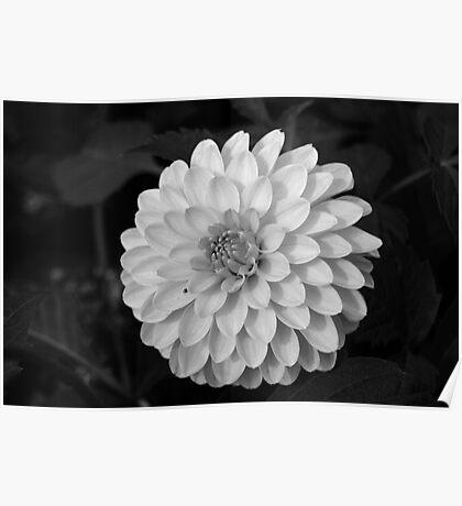 Black & White Beauty Poster