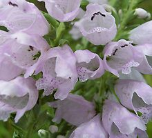 Wild Native Foxglove by NatureGreeting Cards ©ccwri