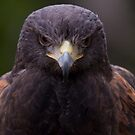 Harris Hawk by Judson Joyce