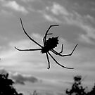 Kruger Spider by Natalie Broome