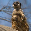 meerkat on watch by jude walton