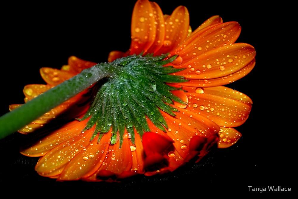 Orange Gerbera by Tanya Wallace