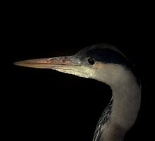 Grey Heron portrait  by larry flewers