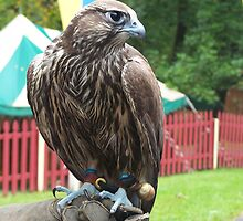 Falconry by Judi Taylor