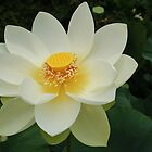 Sacred lotus by Jeanette Varcoe.