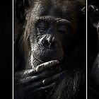 Chimpanzee triptych by Sheila  Smart