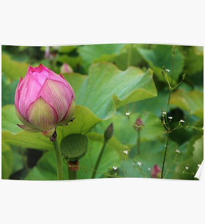 Lotus bud. Poster