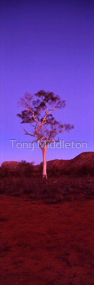 ghost gum by Tony Middleton