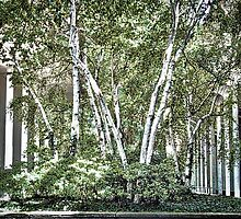 Birch in the Quad by beure55