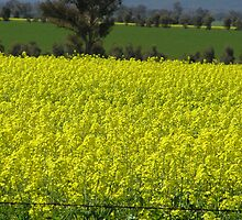 In-Your-Face Canola! by Jan Richardson