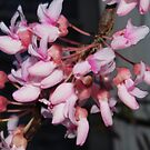 Budding Redbud Tree by Christy Taylor