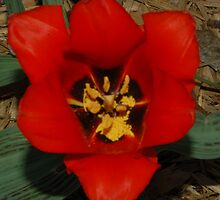 Red Tulip with Black Heart by Christy Taylor
