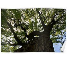 Looking up a Giant Willow Poster