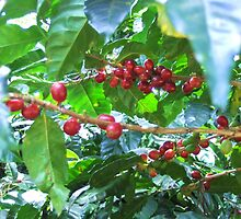 El Salvador #4 - Ripe coffee fruit beans by Carole Boudreau