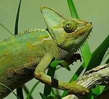 Strolling Veiled Chameleon by Margaret Saheed