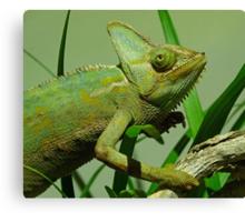 Strolling Veiled Chameleon Canvas Print