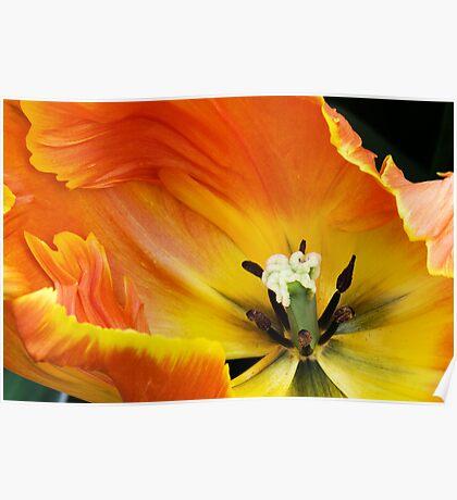 "Parkeit (Parrot) Tulip ""Professor Rontgen"" Poster"
