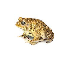 American Toad - whitebox Photographic Print