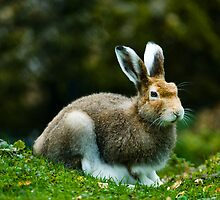mountain hare (lat. Lepus timidus) by peterwey