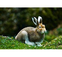 mountain hare (lat. Lepus timidus) Photographic Print