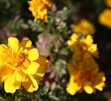 Marigolds by chrishawns
