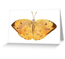 Apricot Sulfur Butterfly Greeting Card