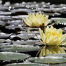 golden water lily by mc27