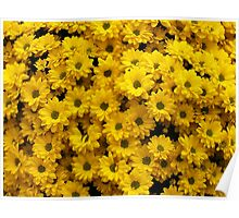 Yellow Crysanthemums Poster