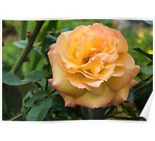Early Summer Blooms Impressions - Elegant Peach Rose Poster