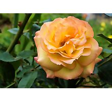 Early Summer Blooms Impressions - Elegant Peach Rose Photographic Print